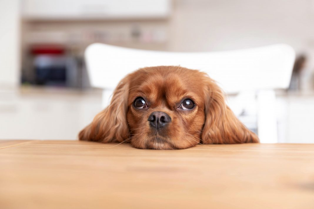 CBD Oil for Dogs: What It Is and Why You Should Use It